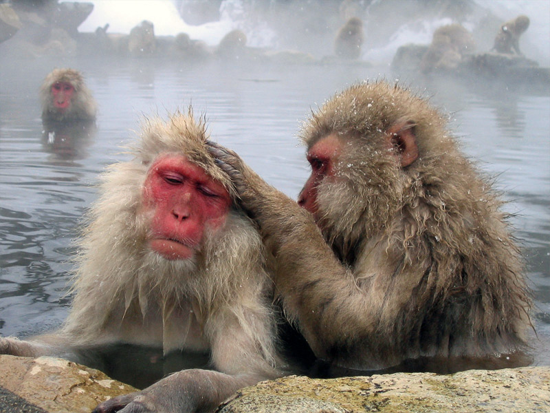 grooming-macaques Matt Webster